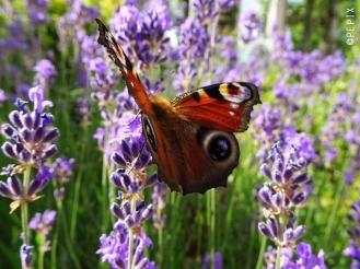 Schmetterling im Lavendelrausch