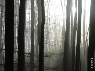 Nebelbuchen