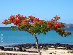 Flamboyant auf Mauritius