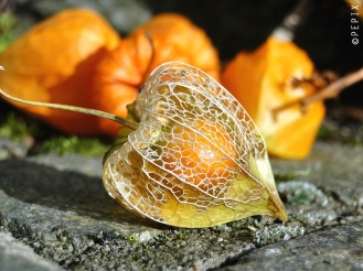 Physalis im Herbst