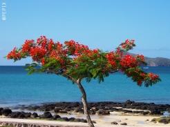 Flamboyant-Baum