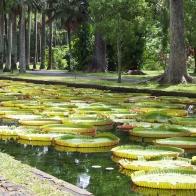 Amazonas Wasserlilien