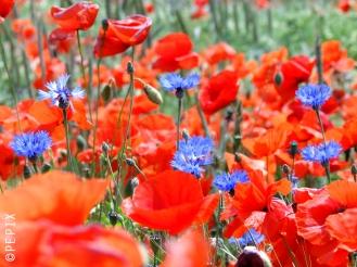 Mohn und Kornblumen im Farbenflash