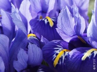 Frühlingsblüher Iris