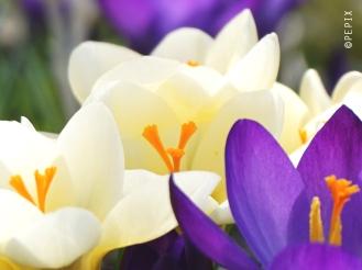 weiße und lila Krokusse